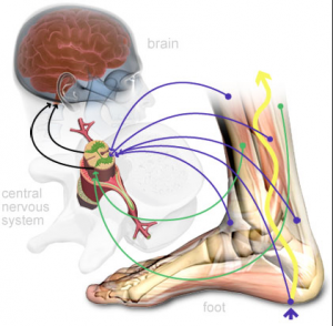 Does your brain know what your ankle is doing?